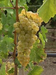 La peau du raisin vin pétillant, composée d'une membrane
