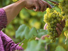 La préparation production de vin préparée la vigne est mélangée avec