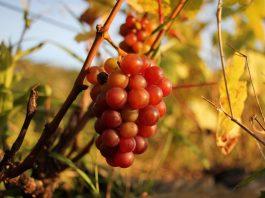 Le fruit de la vin pétillant est une la vigne baie de différentes